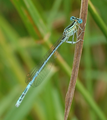 Platycnemis pennipes Libelle2.png