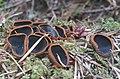 Plectania melastoma (Sowerby) Fuckel 517509 crop.jpg