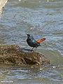 Plumbeous Water Redstart (Rhyacornis fuliginosa) (41673483962).jpg