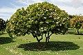 Plumeria Tree (8216037264).jpg