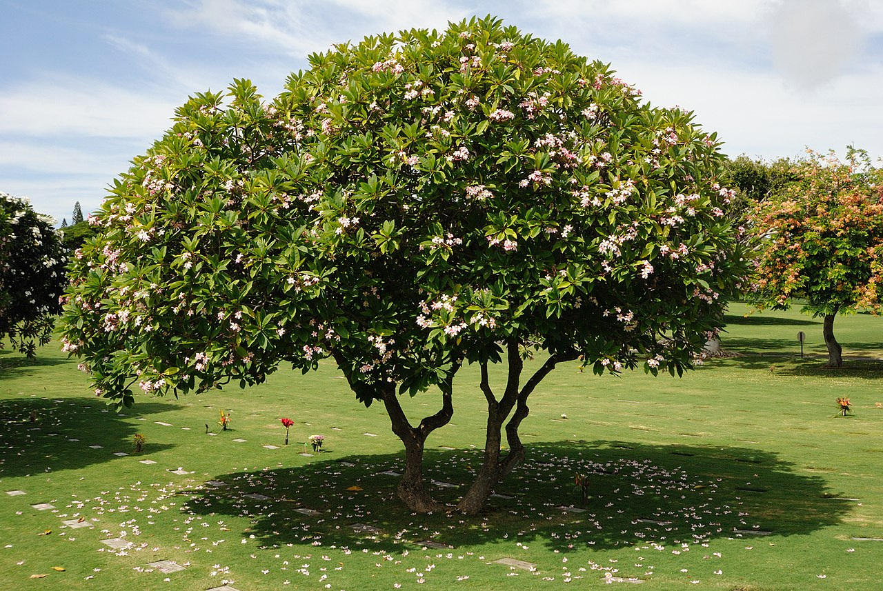 File plumeria tree 8216037264 jpg wikimedia commons for Arboles frutales para jardin