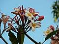 Plumeria rubra 'Bud's Cloud Pink' (361271708).jpg
