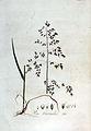 Poa trivialis — Flora Batava — Volume v3.jpg