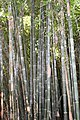 Poales - Bambusa vulgaris - 9.jpg