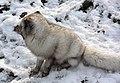 Polarfuchs im TierarkHellabrunn (12433911373).jpg