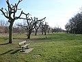 Pollarded trees at Sandwich, Kent.jpg