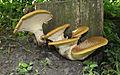 Polyporus squamosus 2011 G2.jpg