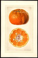 A Botanical Illustration Of Manurco Tangerine Painted By Royal Charles Steadman In January 1926