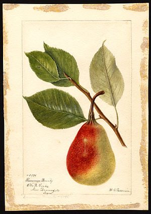 Pear-shaped - A European pear, also known as the common pear.