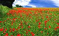Poppy Field - geograph.org.uk - 530222.jpg