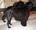 Portugalskie psy dowodne 545.jpg