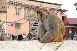Potroit of Rhesus Macaque at Swayambhunath Stupa (1).jpg