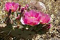 Prickly Pear Bloom (5873295286).jpg