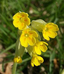 Flower Picture Dictionary on Primrose   Wiktionary