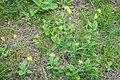 Primula veris in Aveyron (11).jpg