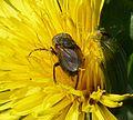 Probably Pollenia amentaria - Flickr - gailhampshire (2).jpg