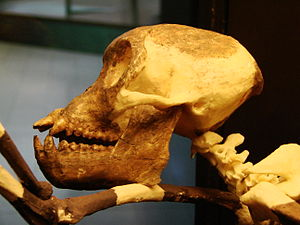 Proconsul skull side left (University of Zurich).JPG