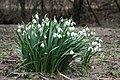 Profusion of Speyside Snowdrops. - geograph.org.uk - 350065.jpg