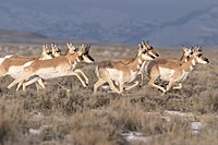 Pronghorn run - Flickr - USDAgov.jpg