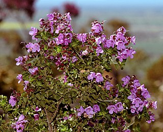 <i>Prostanthera rotundifolia</i> species of plant