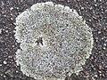 Protoparmeliopsis muralis 120836153.jpg