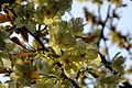 Prunus lannesiana 'Grandiflora'-Ukonzakura,ウコン桜8925.JPG