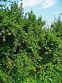 Prunus spinosa 001.jpg
