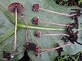 Psathyrella vinosofulva P.D. Orton 187751.jpg