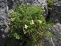 Pseudofumaria alba - žućkasta mlađa.jpg