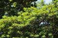 Pseudotsuga japonica foliage.jpg