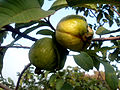 Psidium guajava (Guava fruits) at Bhadrachalam 01.JPG