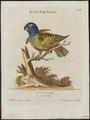 Psittacus menstruus - 1700-1880 - Print - Iconographia Zoologica - Special Collections University of Amsterdam - UBA01 IZ18600083.tif