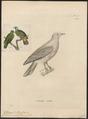 Ptilinopus monachus - 1700-1880 - Print - Iconographia Zoologica - Special Collections University of Amsterdam - UBA01 IZ15600069.tif