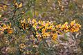 Pultenaea daphnoides, Werribee Gorge State Park, Victoria Australia (5106348623).jpg