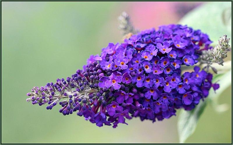 File:Purple Butterfly Magnet (212257089).jpeg