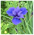 Purple Iris (8448542064).jpg