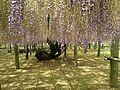 Purple isteria in Kawachi Wisteria Garden 20150509-2.JPG