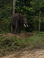 Pusat Latihan Gajah Riau 02.jpg