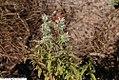 Pycnanthemum flexuosum 1zz.jpg