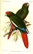 A green parrot with a red tail, blue-tipped wings, maroon cheeks, a red forehead, and white eye-spots