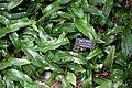 Pyrrosia lingua 'Gold Rush' - Longwood Gardens - DSC01078.JPG