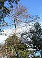 Pyrus calleryana tree with fruit.jpg