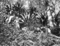 Queensland State Archives 406 Bithongabel track Lamington National Park Beaudesert Shire September 1933.png
