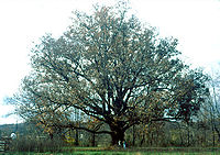 Quercus alba.jpg