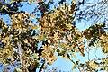 Quercus lobata-9.jpg