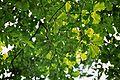Quercus macranthera Leafs.jpg
