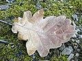 Quercus petraea fulla seca.jpg