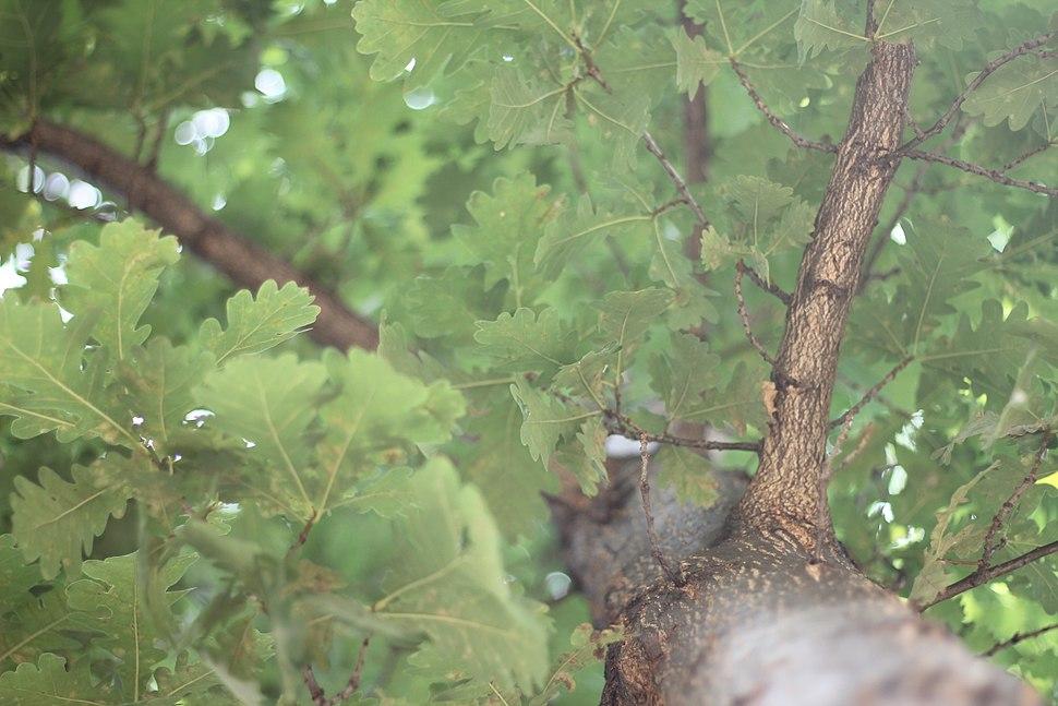 Quercus robur - Hrast lužnjak (4)
