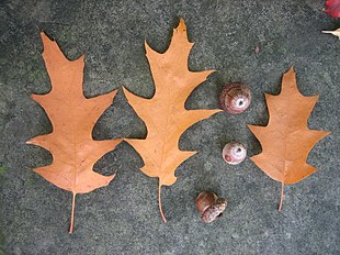 Quercus rubra autumn selection.jpg