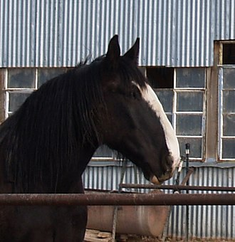 Equine conformation - Shires often have a Roman nose.